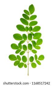 Leaf of Moringa tree (Moringa oleifera) isolated on white background with clipping path