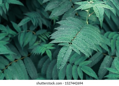 A leaf of mountain ash close up. A beautiful mountain ash leaves a background photo.