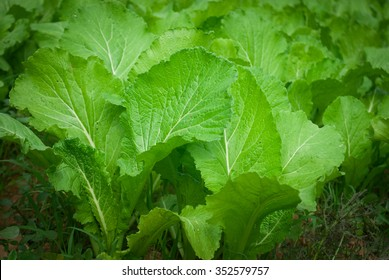 leaf mustard greens grow at vegetable garden