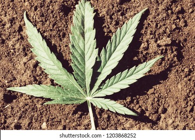 leaf narcotic plants lying on the ground broke away from the stem, outdoors black earth