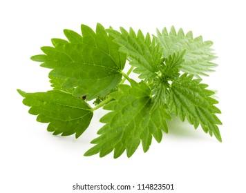 Leaf of nettle on white background. Nettle plant.