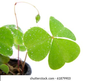 leaf of Oxalis with water droplets, isolated on white background