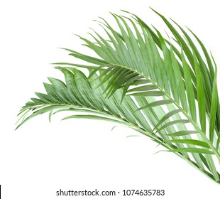leaf of palm branch isolate