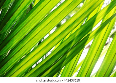 Leaf of palm, Green leaf, Close up of leaf texture in nature, Beautiful natural background, Abstract green background