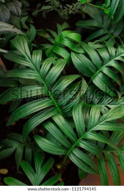 leaf palm tree