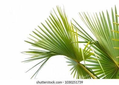 Leaf palm tree on white background. Palm leaf isolated.