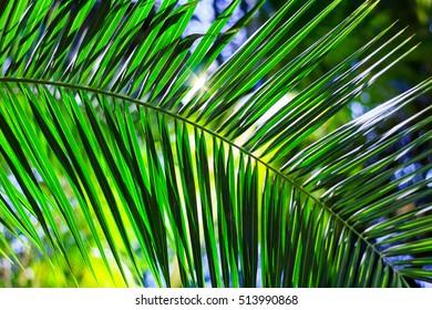Leaf of palm tree in tropics.