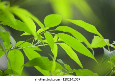 leaf pic found in india state of jharkhand odisha chatishgarh assam etc