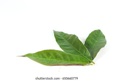 Leaf Picara Close up