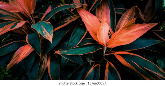 Leaf or plant Cordyline fruticosa leaves colorful vivid tropical nature background  - Shutterstock ID 1376630357