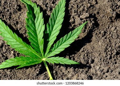 the leaf of the plant hemp fell on the plowed black ground, green leaf marijuana