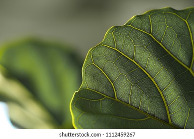 The leaf of the plant. The light falls on it, texture is clearly visible. It seen that the plant is alive.