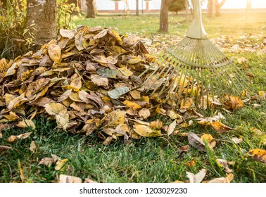 Leaf rake with pile of apple tree leaves in autumn at home garden sunny wartm evening. Autumn chores concept.