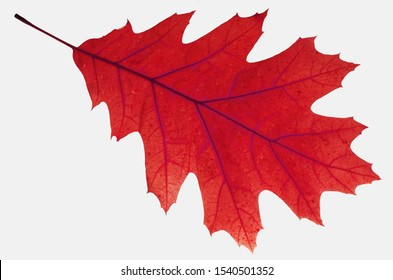 Leaf of red northern oak. Isolated on white.