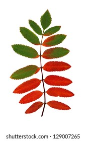 leaf from rowan tree (isolated)