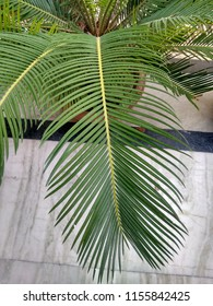 LEAF OF SAGO PALM-Sago Palm Leaf is a hard kind of leaf But it looks beautiful. Decorators use it with flowers in Party Lawns, Halls and Marriage Places.