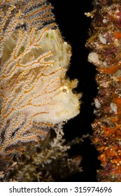 a leaf scorpionfisch during a nigthdive behind a softcoral