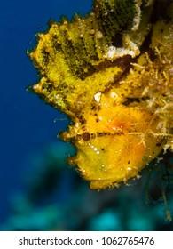 Leaf Scorpionfish (Taenianotus triacantus)