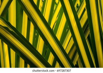Leaf shape and pattern  of Yucca flaccida 'Golden Sword'.