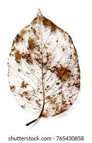 Leaf skeleton over white background