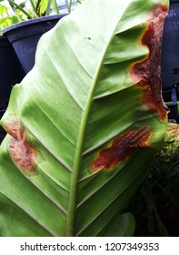 Leaf spot or blight disease of older ornamental philodendron plant is a problem for plant nursery. The disease is caused by a fungus (Phytophthora). Disease symptoms are blight spot lesions on leaf.