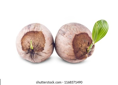 leaf and sprout of the coconut tree on white background planting agriculture isolated