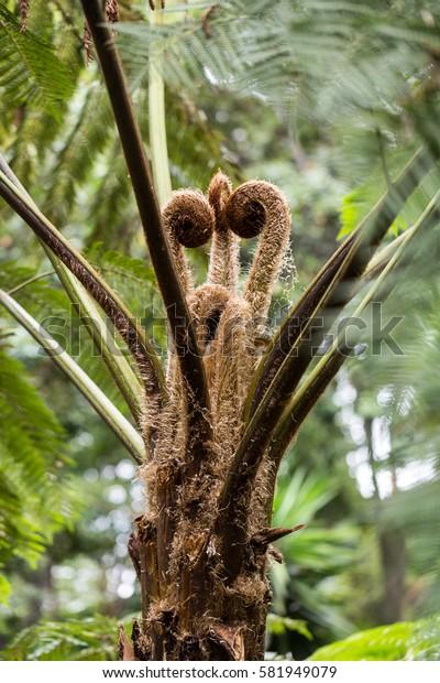 Leaf sprouts of an Australian tree fern , Cyathea cooperi