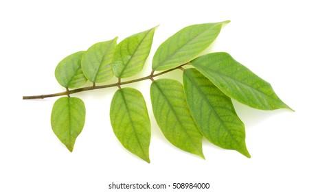 Leaf of Starfruit tree isolated on white background