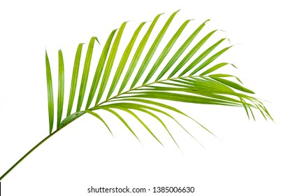 Leaf stem of Palm with a white background