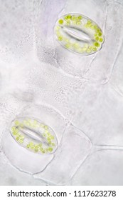 Leaf stoma of Tradescantia spathacea under microscopy for biological education