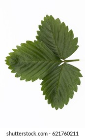 Leaf of strawberry garden isolate on white background