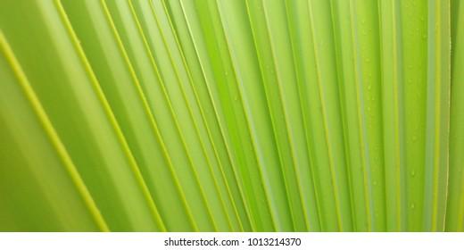 Leaf of sugar palm, background