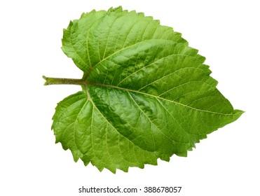 A leaf of sunflower