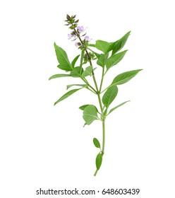 Leaf Sweet Basil  isolated on white background