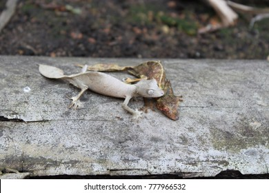 leaf tailed gecko couple in madagascar