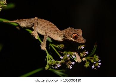 leaf tailed gecko from madagascar