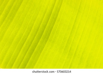 ?Banana leaf texture abstract background