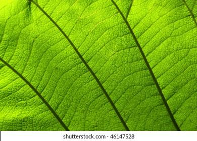 leaf texture for background or illustration