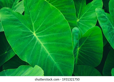 Leaf texture background.Natural background and wallpaper.Elephant ear leaves for background,Tropical green banana taro leaf.