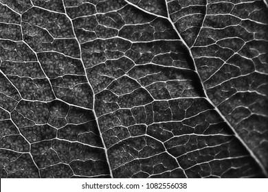 leaf texture black and white / design black leaf skeleton, macro nature texture, wallpaper black and white