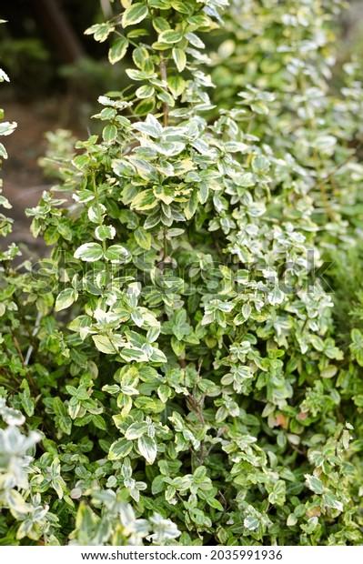 leaf-texture-variegated-small-yellowgree