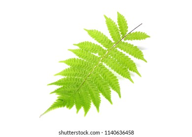 Leaf : Tropical green fern leaf isolated on white background.