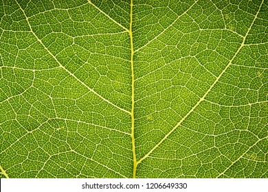 Leaf vein pattern