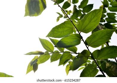 leaf vein under backlight
