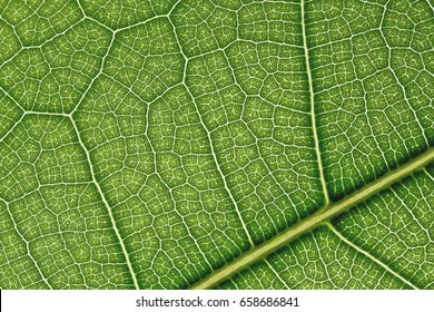 Leaf veins closeup, petiole
