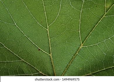 leaf veins texture, green background