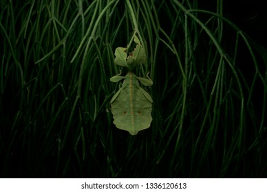 leaf walker insect over black background