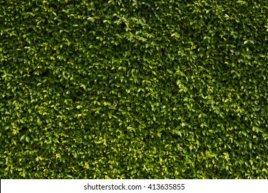 Leaf wall, green plant texture