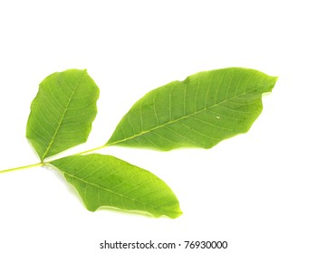 leaf of walnut on a white background
