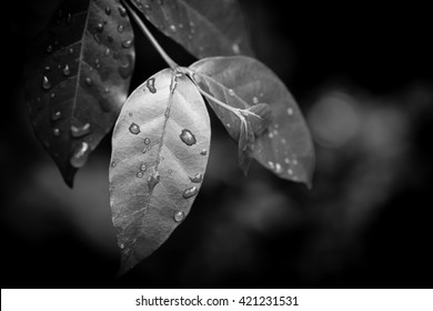 Leaf and water drop black and white